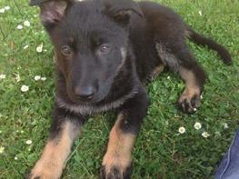 Schæferhund Tobila's Zitta (Zigga)