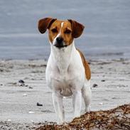 Dansk svensk gaardhund Sørøver Zallie