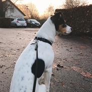 Dansk svensk gaardhund Franz