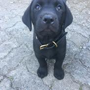 Labrador retriever Freddy