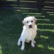 Labrador retriever Manze