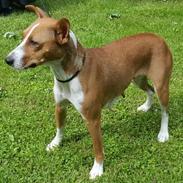 Rat Terrier Seegmillers Pejula