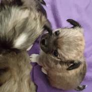 Chihuahua Choko
