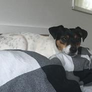 Dansk svensk gaardhund Tulle