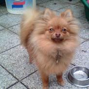 Pomeranian Anes Rødtop