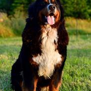Berner sennenhund Terplinggaard's Charly 'Messi'