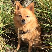 Blanding af racer Pomeranian/Dansk-Svensk Gårdhund Laika