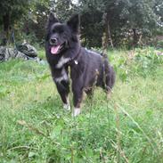 Islandsk fårehund Gaiva ~*Himmel hund*~