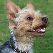 Yorkshire terrier Håkon