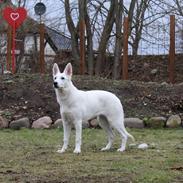 Hvid Schweizisk Hyrdehund Gnocchi