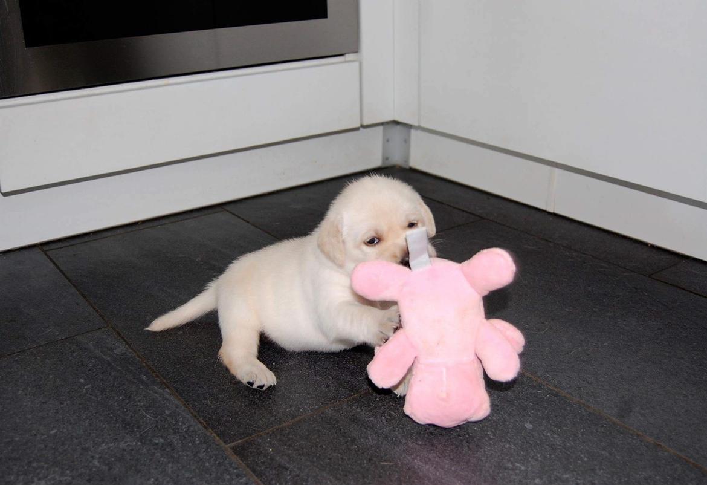 Labrador retriever Honey billede 1