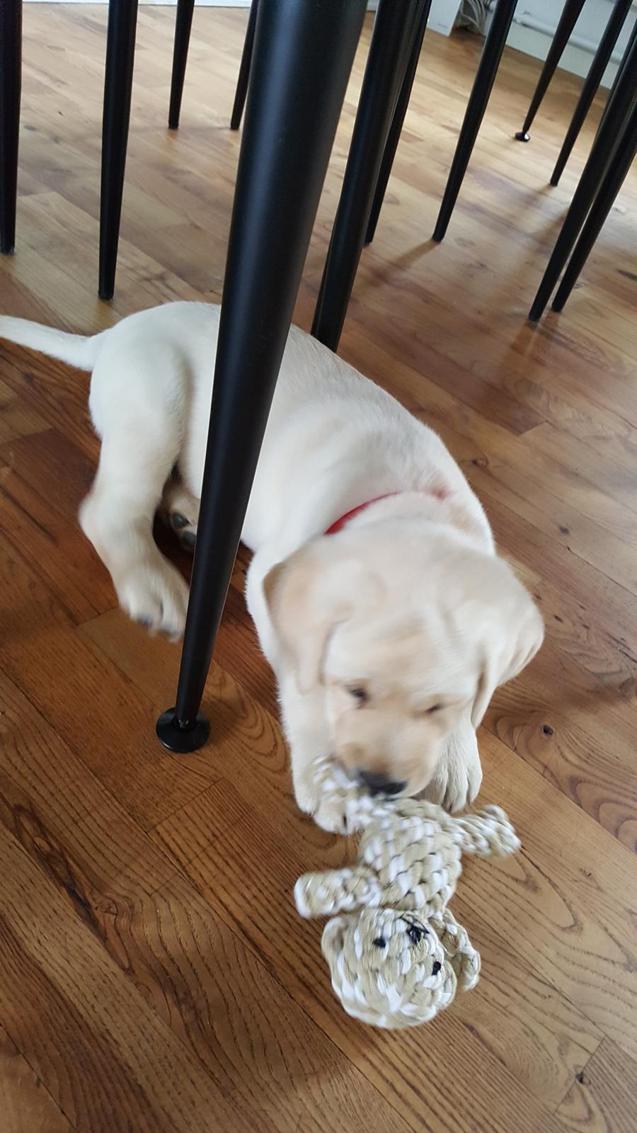 Labrador retriever Honey billede 4