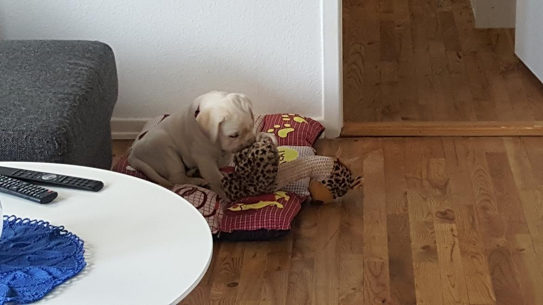 Labrador retriever Honey billede 7