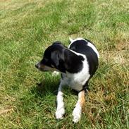 Dansk svensk gaardhund Alfa (Tilbydes til parring)