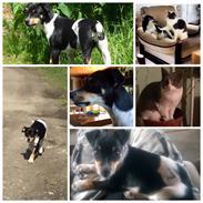 Dansk svensk gaardhund Alfa (modt. t. parring)