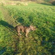 Staffordshire bull terrier Tia