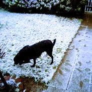 Labrador retriever Rollo