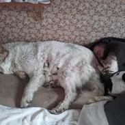 Pyreneerhund My