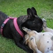 Fransk bulldog Mille