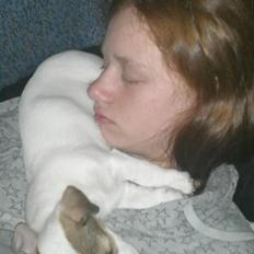 Jack russell terrier Bello
