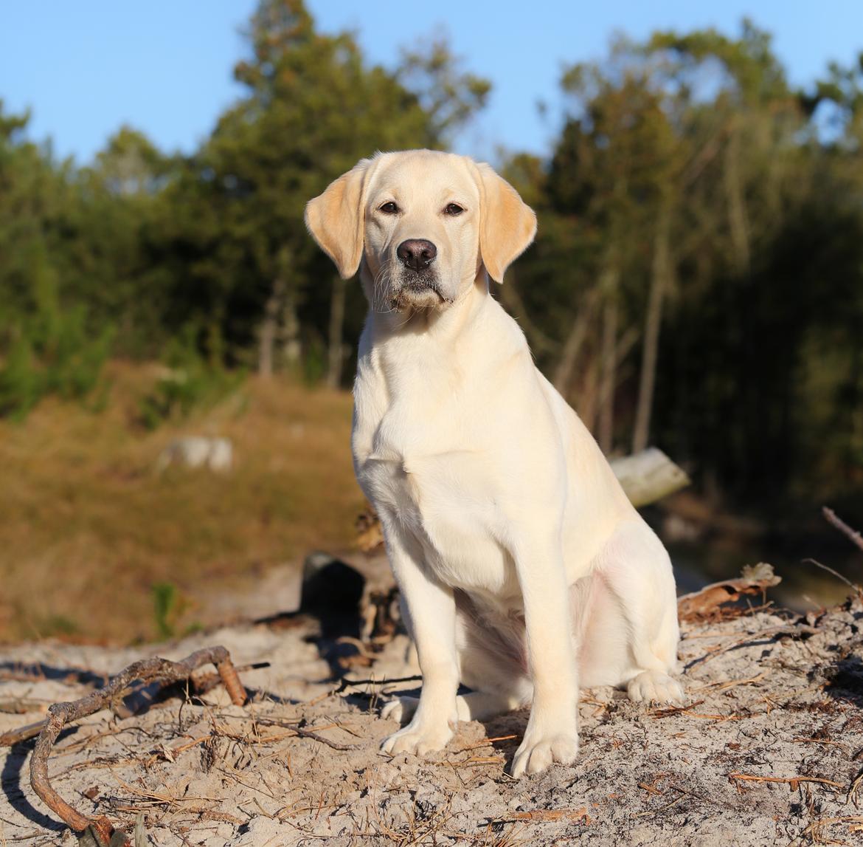 Labrador retriever Honey - Taget 4/12 af Tine Norup billede 18