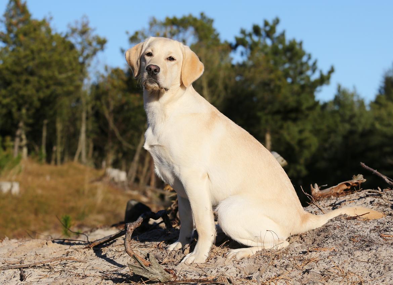 Labrador retriever Honey billede 19