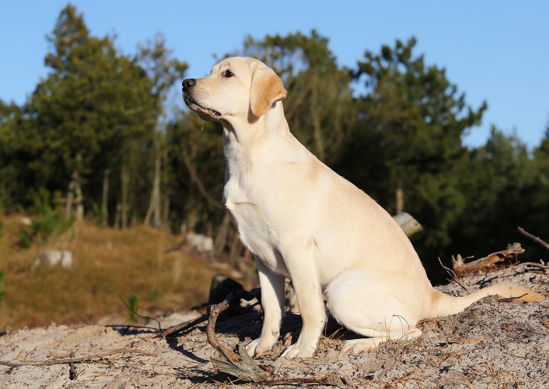 Labrador retriever Honey billede 20