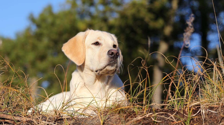 Labrador retriever Honey billede 24