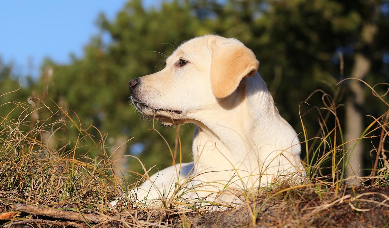 Labrador retriever Honey billede 25