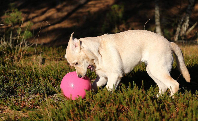 Labrador retriever Honey billede 27