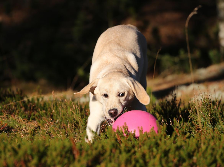 Labrador retriever Honey billede 28