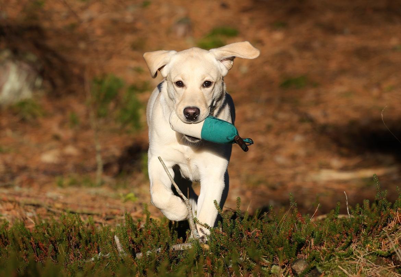 Labrador retriever Honey billede 31