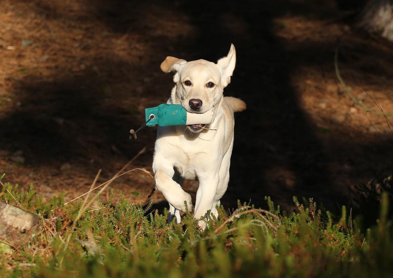 Labrador retriever Honey billede 32