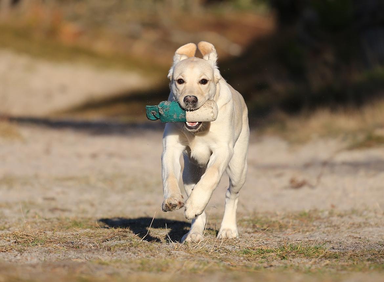 Labrador retriever Honey billede 33