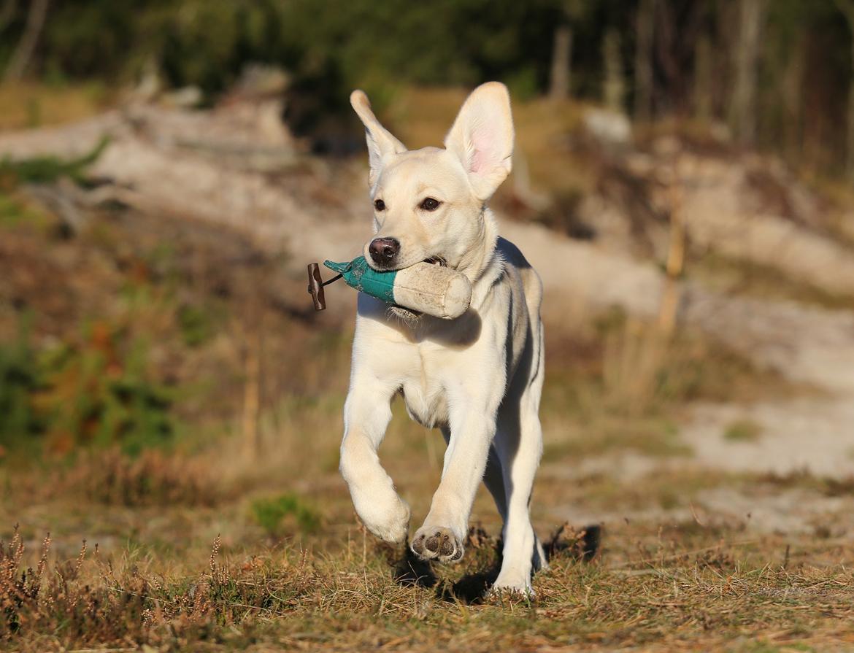 Labrador retriever Honey billede 34