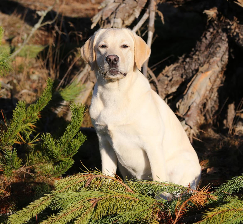 Labrador retriever Honey billede 35
