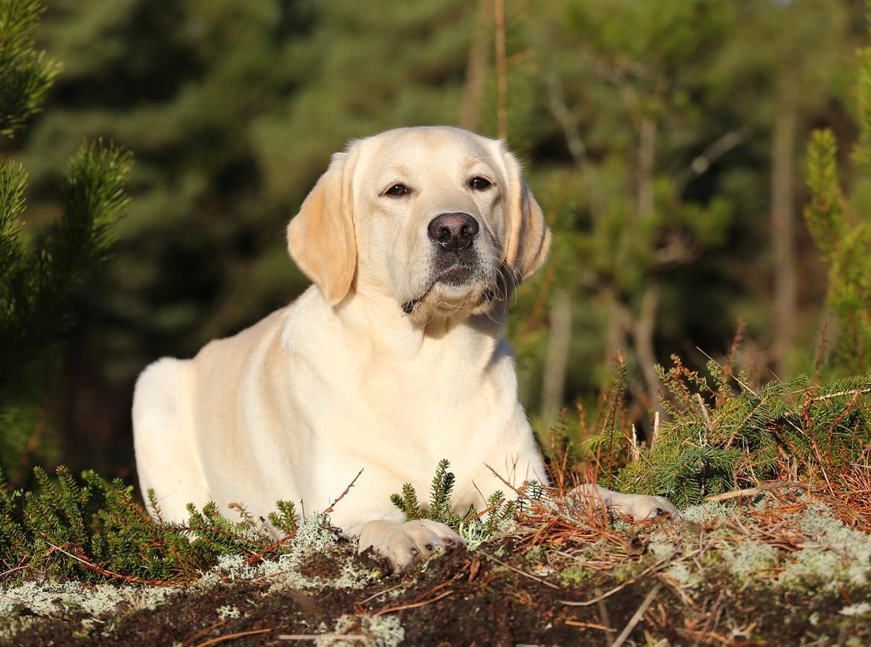 Labrador retriever Honey billede 37