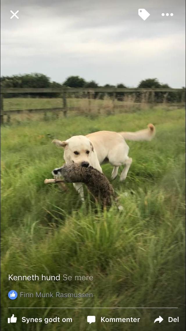 Labrador retriever Noah billede 4