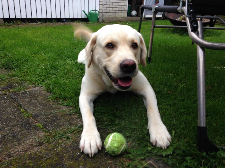 Labrador retriever Noah billede 2