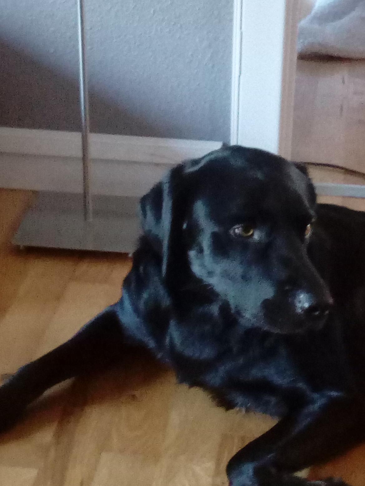 Labrador retriever Rollo billede 1