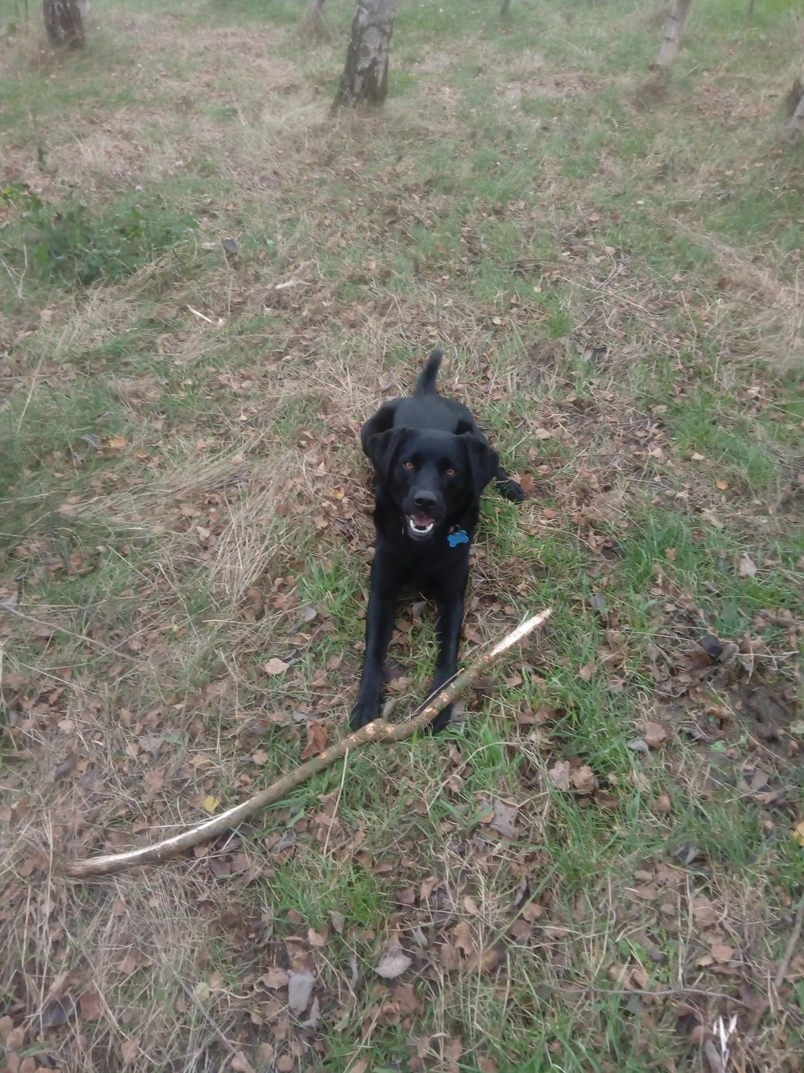Labrador retriever Rollo billede 2