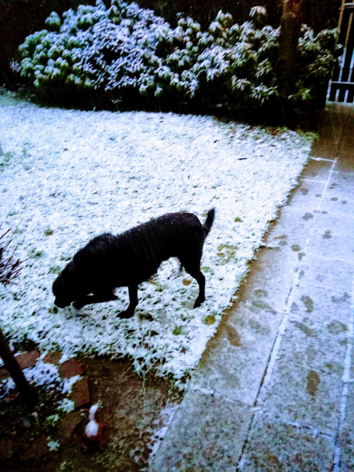 Labrador retriever Rollo billede 3