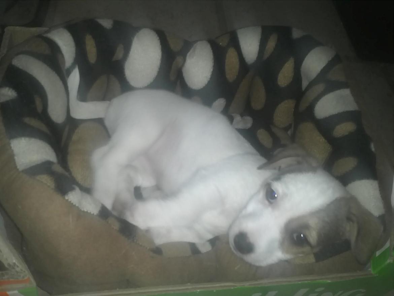 Jack russell terrier Bello  - Bello 9 uger gammel billede 6