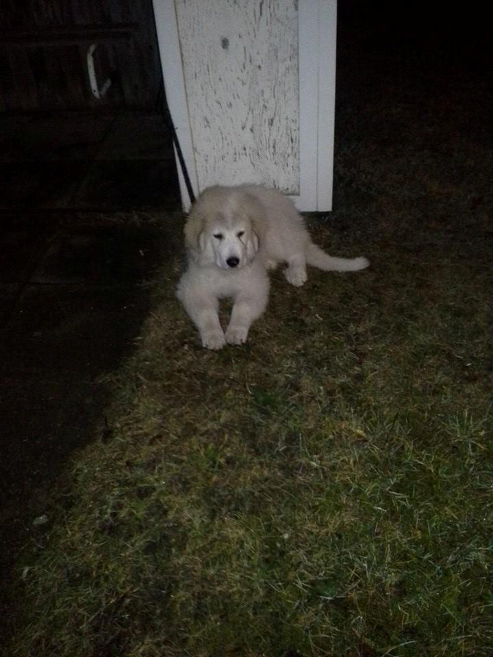 Pyreneerhund My billede 9