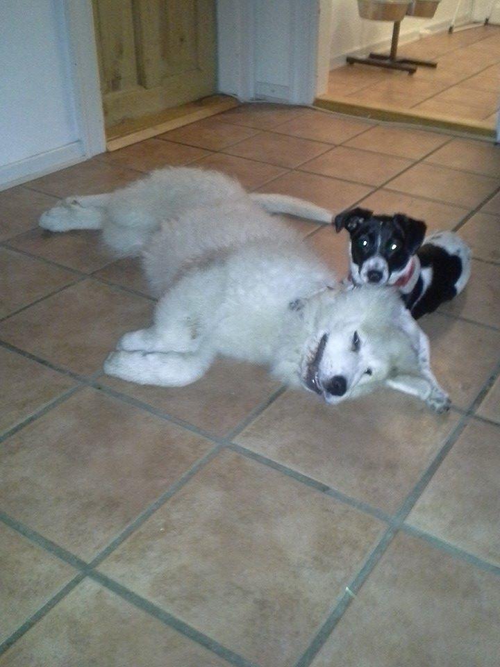 Pyreneerhund My billede 10