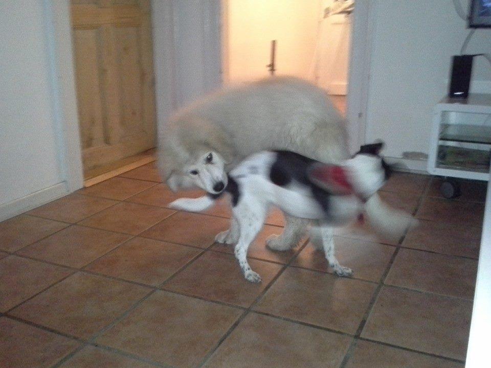 Pyreneerhund My billede 11