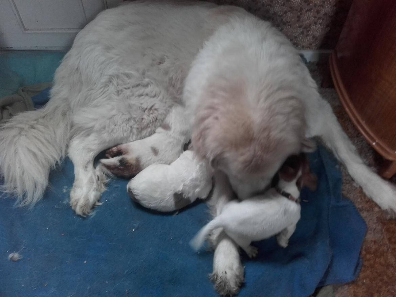 Pyreneerhund My - My og hendes 2 hvalpe og hendes lille plejebarn liv billede 23