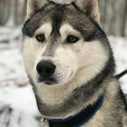 Siberian husky Lufkaz