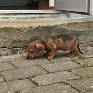 Dværggravhund Frida