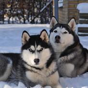 Siberian husky Mesmocan Kida of Kiowa (Kida)